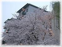 イベント報告 「京都木屋町桜祭り」3